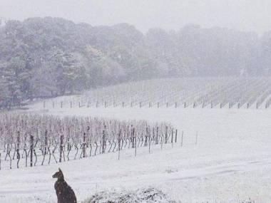 W Australii kangury nie wiedzą jak się odnaleźć