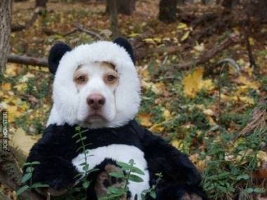 Coś niewyraźna ta panda