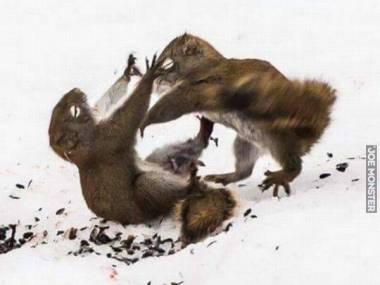 Pojedynek wiewiórek