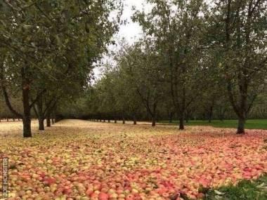Jabłkowy sad po huraganie