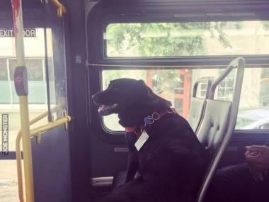 To jest Eclipse. Każdego dnia jedzie sama autobusem do parku dla psów. Ma nawet bilet przyczepiony do obroży