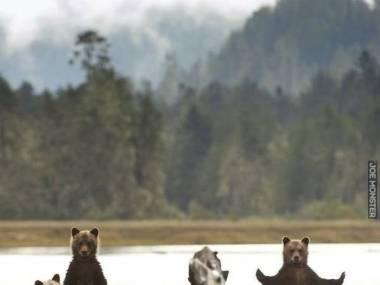 Niedźwiedzie wyglądają jakby patrzyły na swój obiad