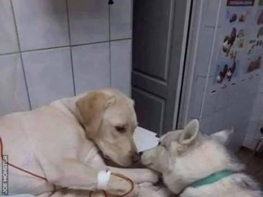 Szkolony pies u weterynarza do pocieszania innych zwierząt