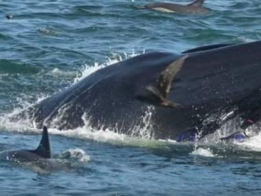 Płetwal Bryde'a przypadkiem pochłonął nurka i po chwili go wypluł