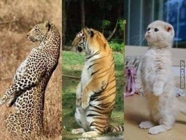 Każdy kot ma to w genach