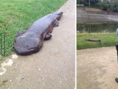 Miejscowi zadzwonili na policję, kiedy potwór wyszedł z rzeki Kamogawa w Kioto. Okazało się, że to gigantyczna salamandra
